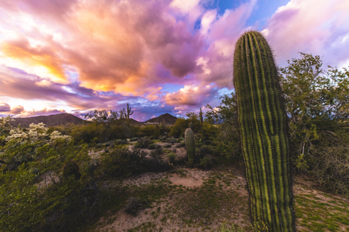 Baby Saguaros by Tony Cottrell