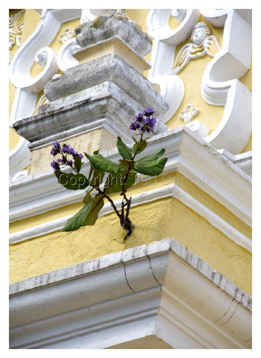 photography, La Merced, Antigua, Guatemala, flower (large view)
