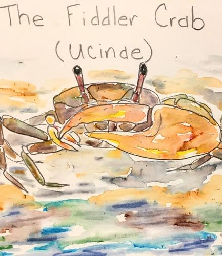 The Fiddler Crab