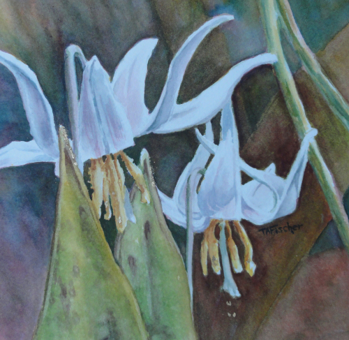 Dog tooth lily - Erythronium Americanum