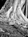 b/w tree (thumbnail)