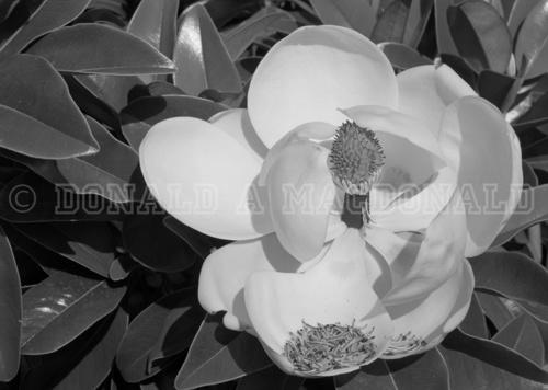 Magnolia Blossom & Tower