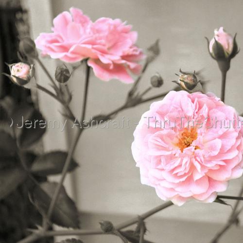 Ole Ramblin' Rose by Jeremy Ashcraft - ThruTheShutter