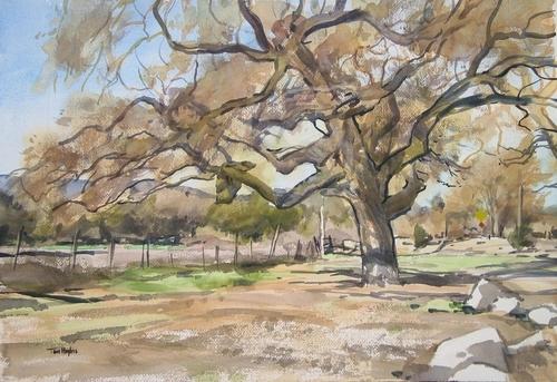Sonoma oak (large view)