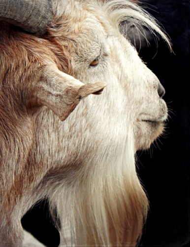 BILLY GOAT GRUFF (large view)