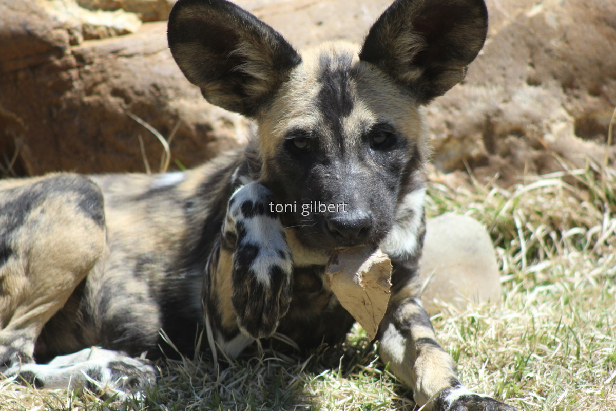 African Painted Dog (large view)