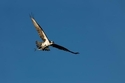 Tom McGee, photography, nature, Osprey, nest, animals, wildlife, blue sky, raptors, Sanibel Beach, hiking, birds -  Photography