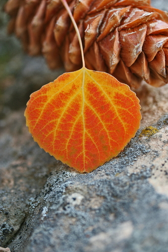 Aspen Leaf and Cone