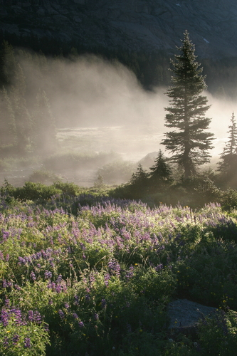 Foggy Lupines