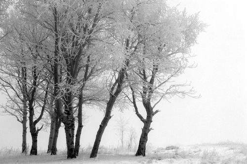 Frosty Aspens