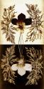 Flowers of Mount Hermon (thumbnail)