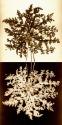 Flowers of Siloah (thumbnail)