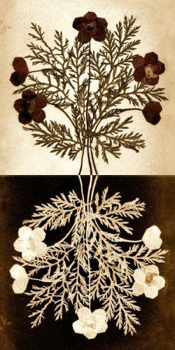 Flowers of Gethsemane (large view)