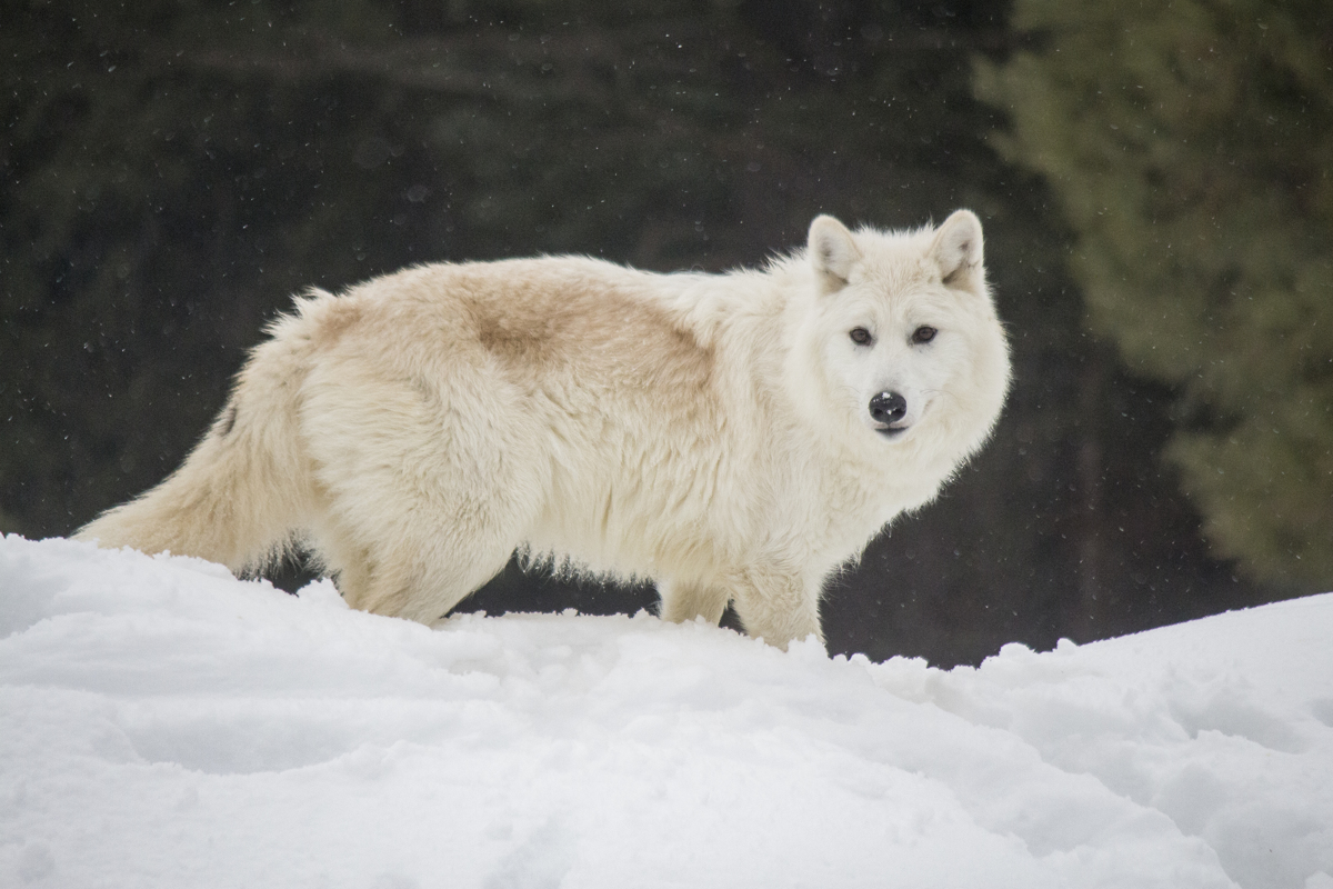 Arctic Wolf (large view)