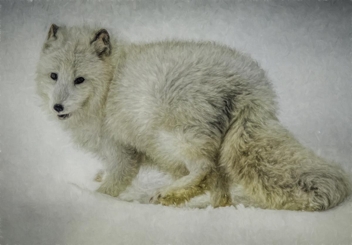 Arctic Fox Portrait (large view)