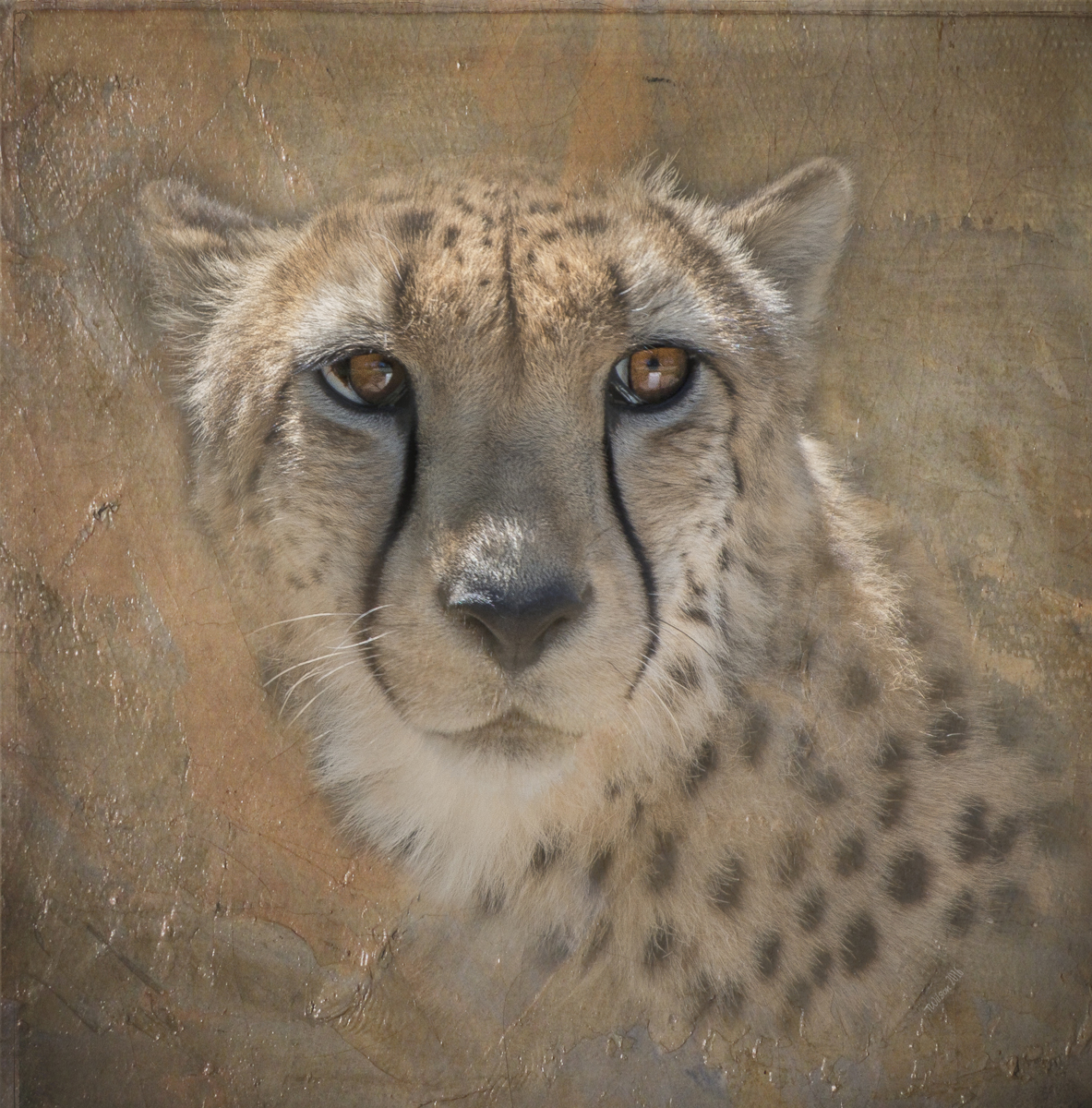 Portrait Of A Cheetah (large view)