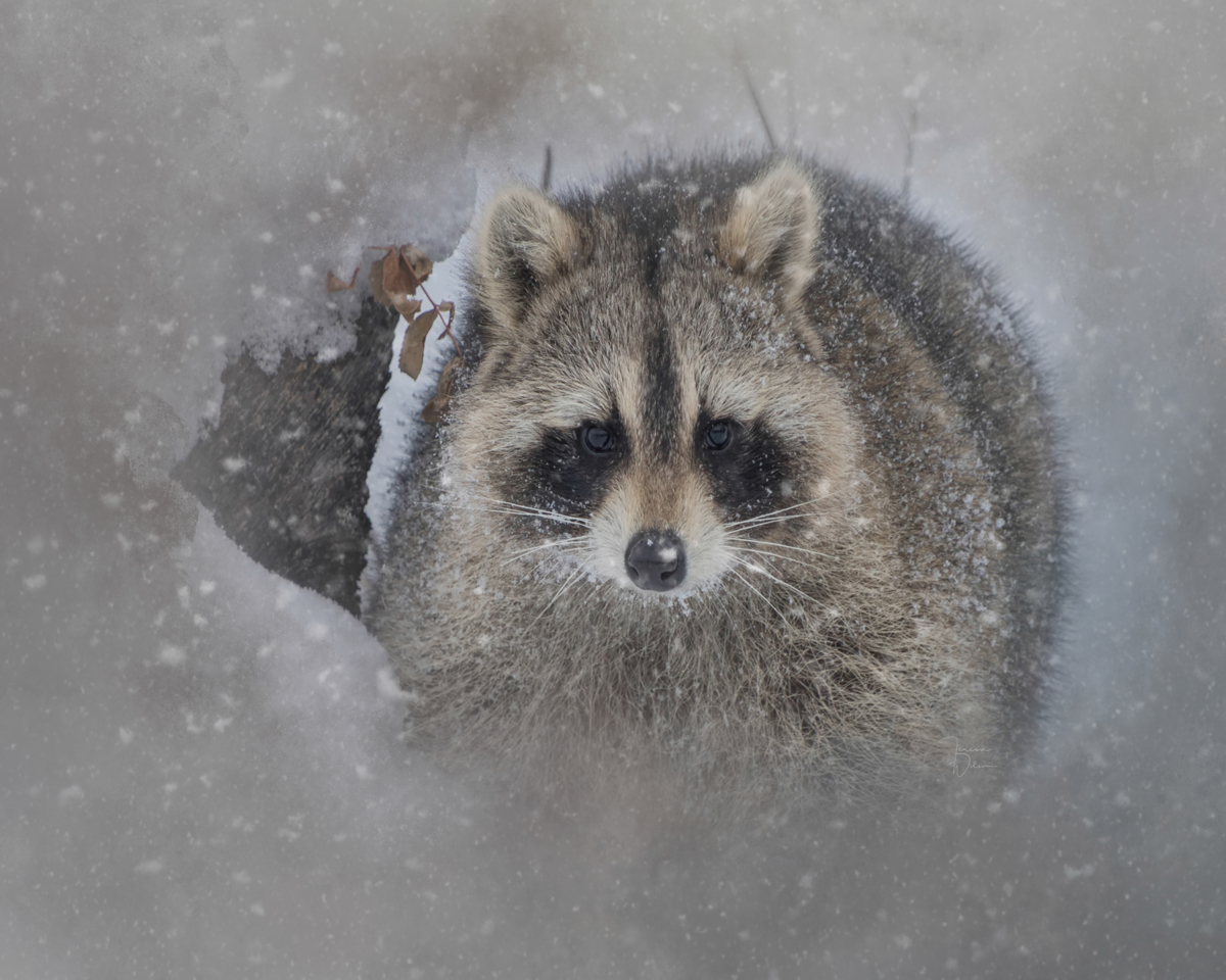 Snowy Raccoon (large view)