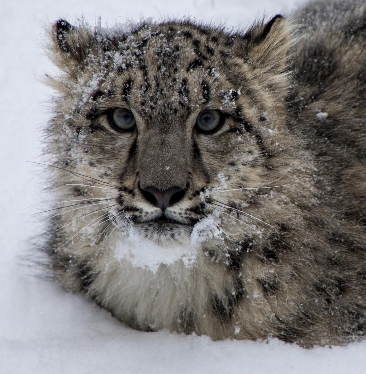 Snow Leopard Cub (large view)