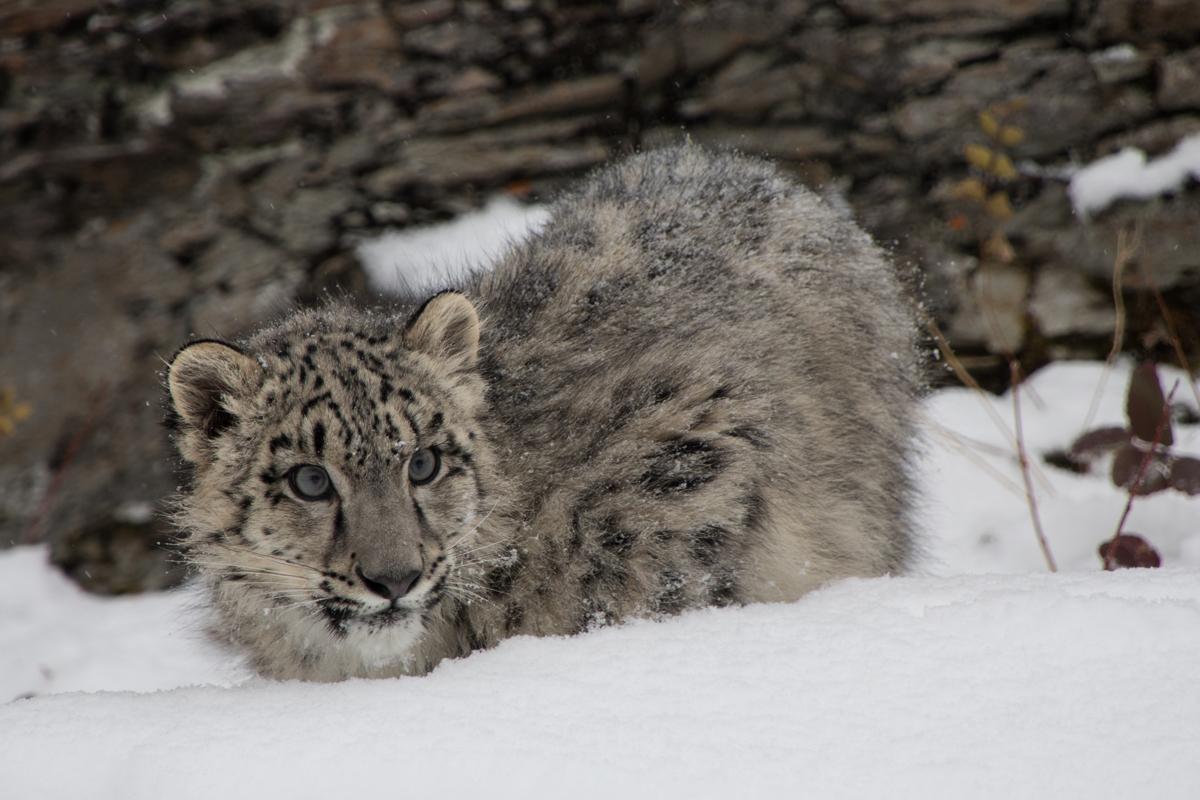 Snow Leopard Cub 4 (large view)