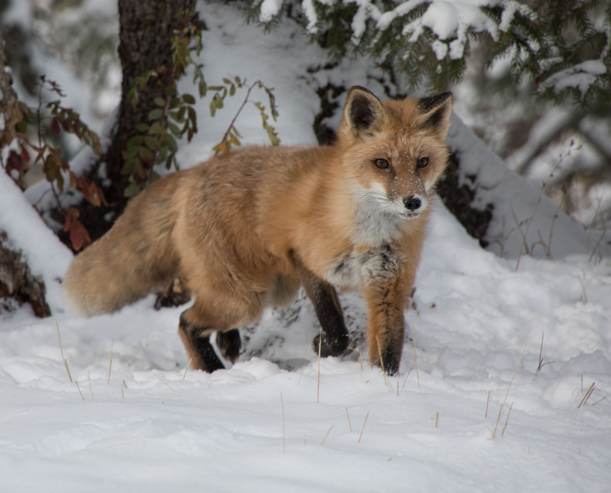 Red Fox 9611 (large view)