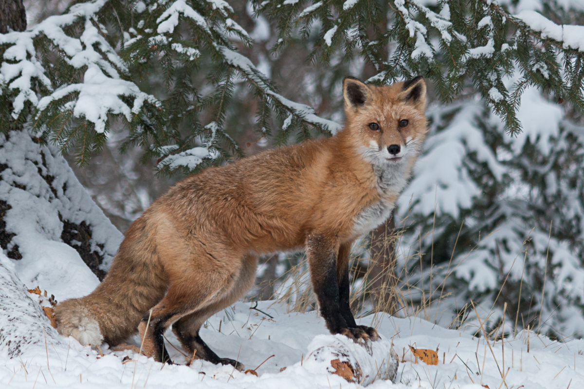Red Fox 7187  (large view)