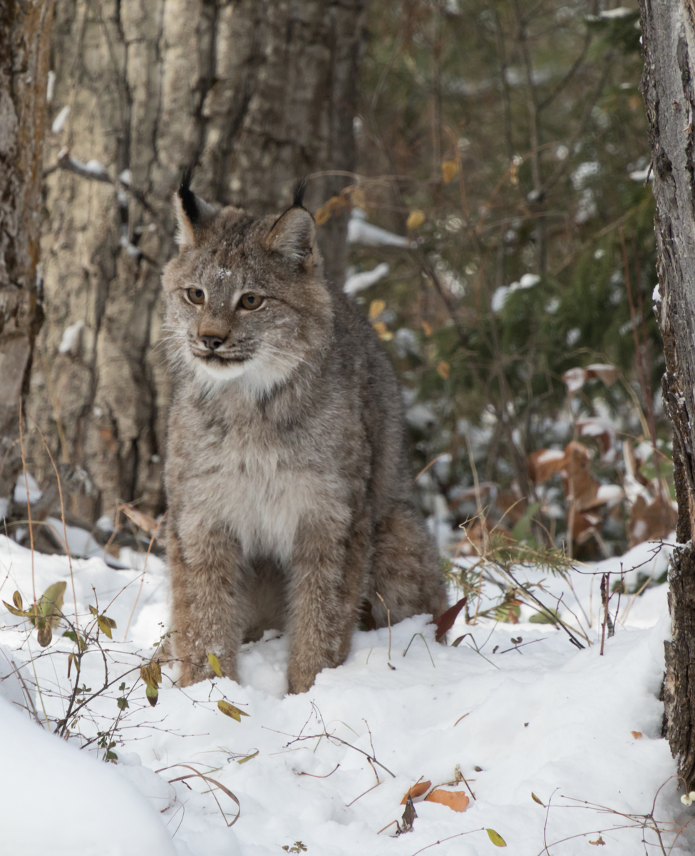 Canada Lynx (large view)