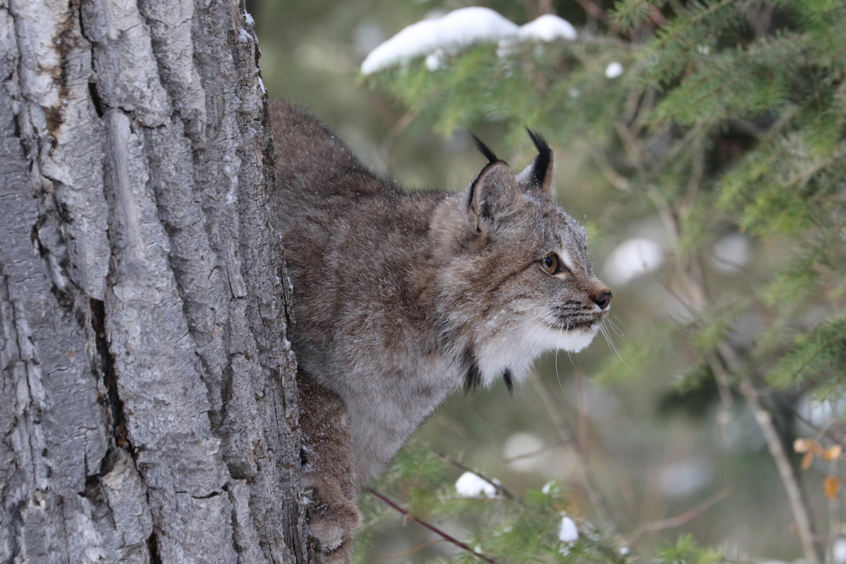 Canada Lynx 1362 (large view)