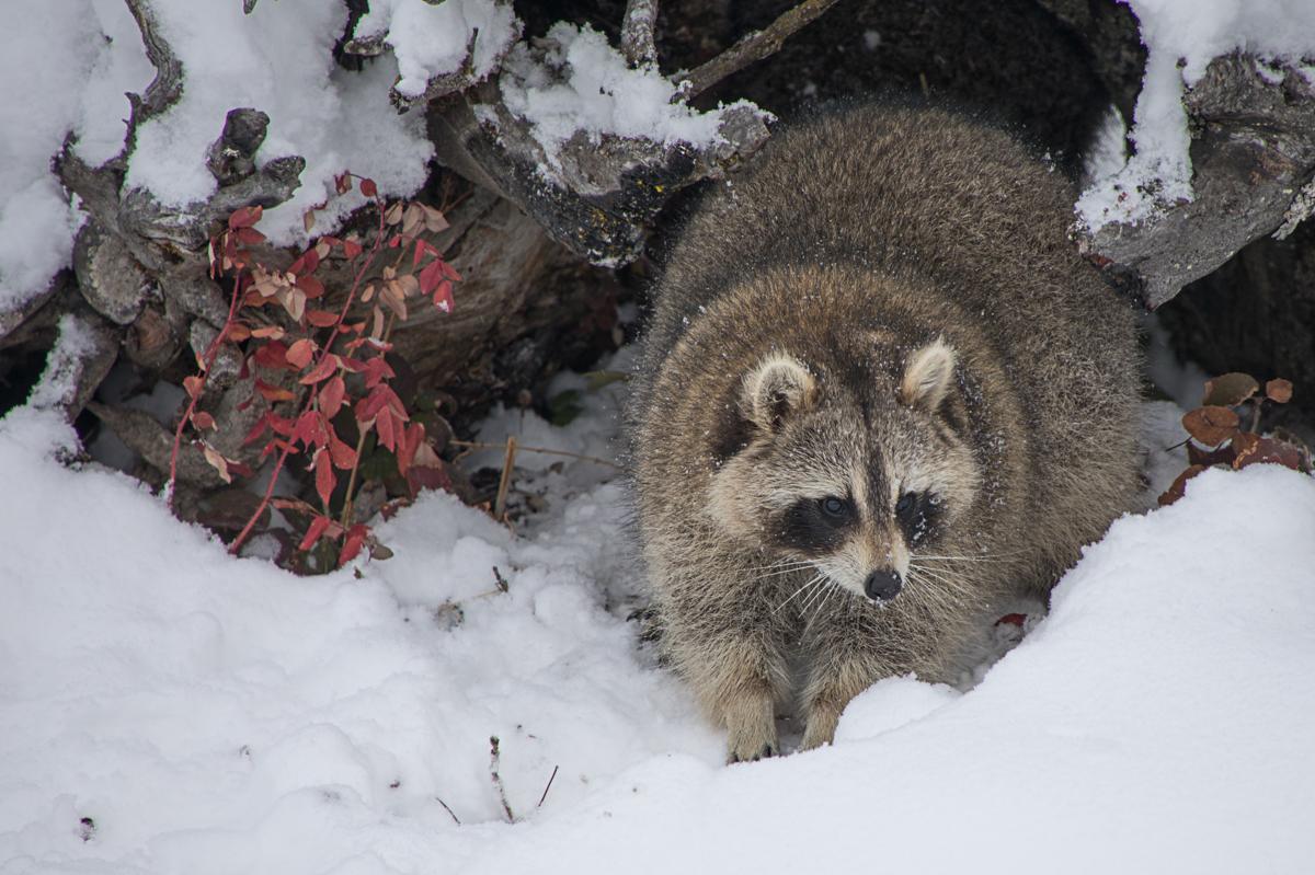 Raccoon 3110 (large view)