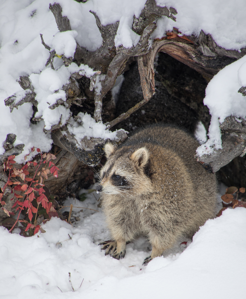 Raccoon 3118 (large view)