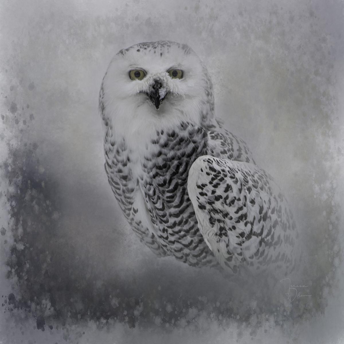 Snowy Owl Portrait (large view)