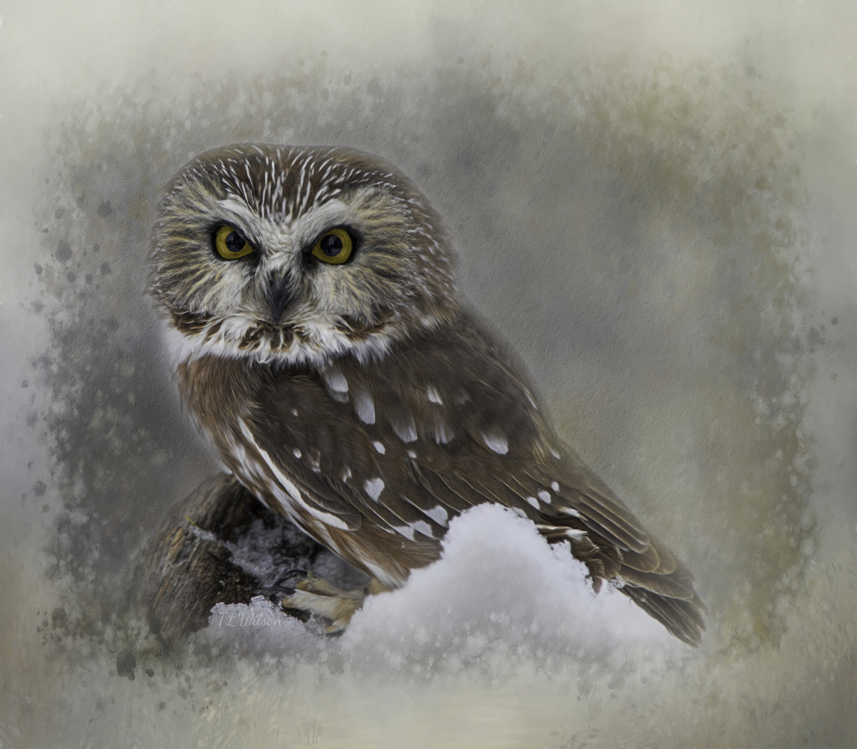 Northern Saw-whet Owl (large view)