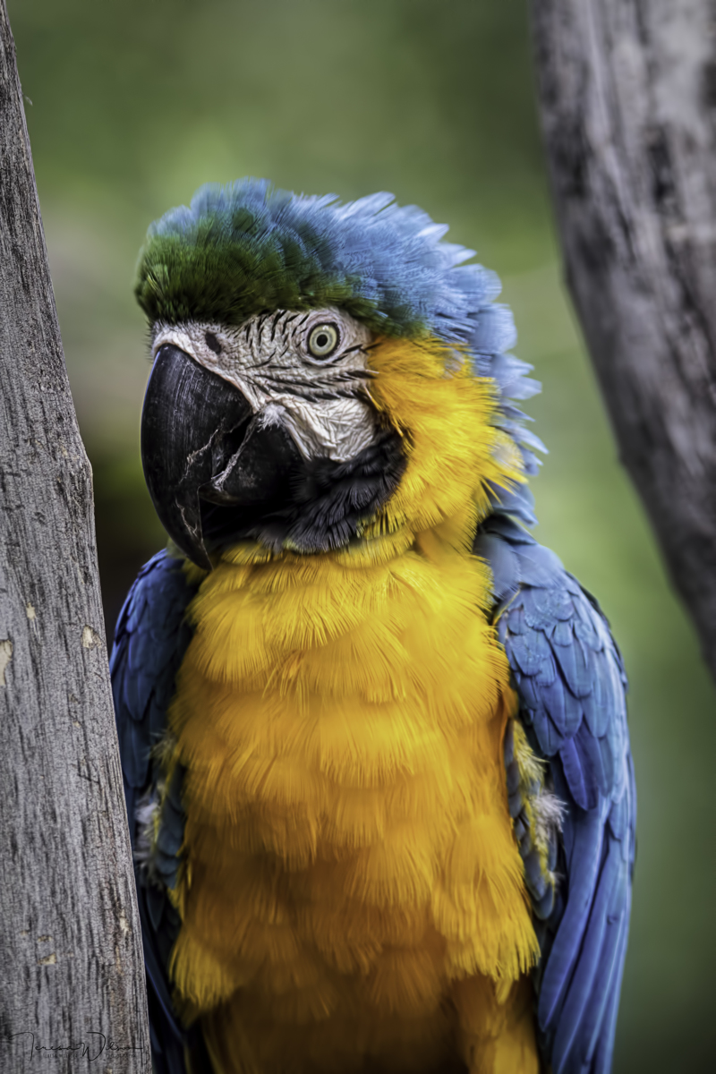 Blue And Yellow Macaw Portrait (large view)