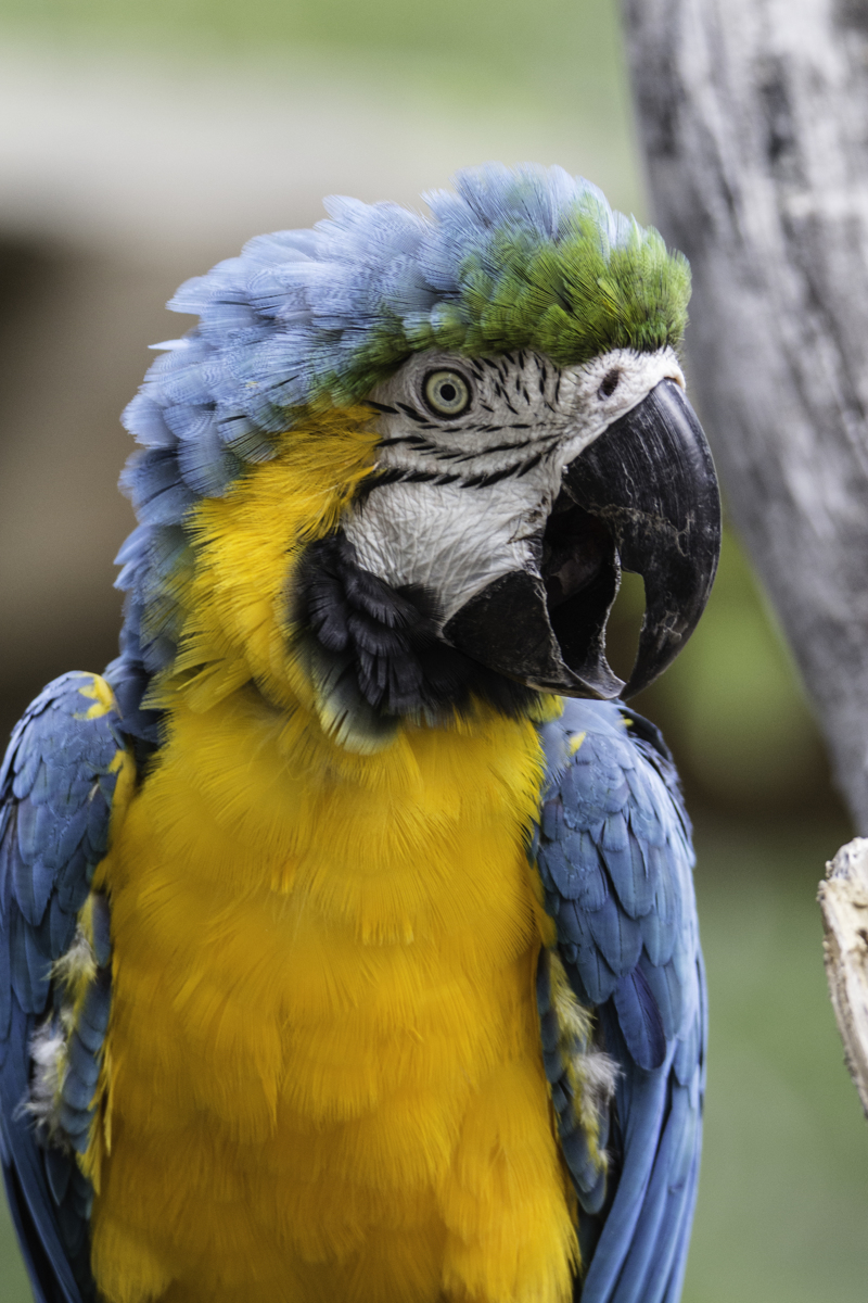 Blue And Yellow Macaw Vertical (large view)