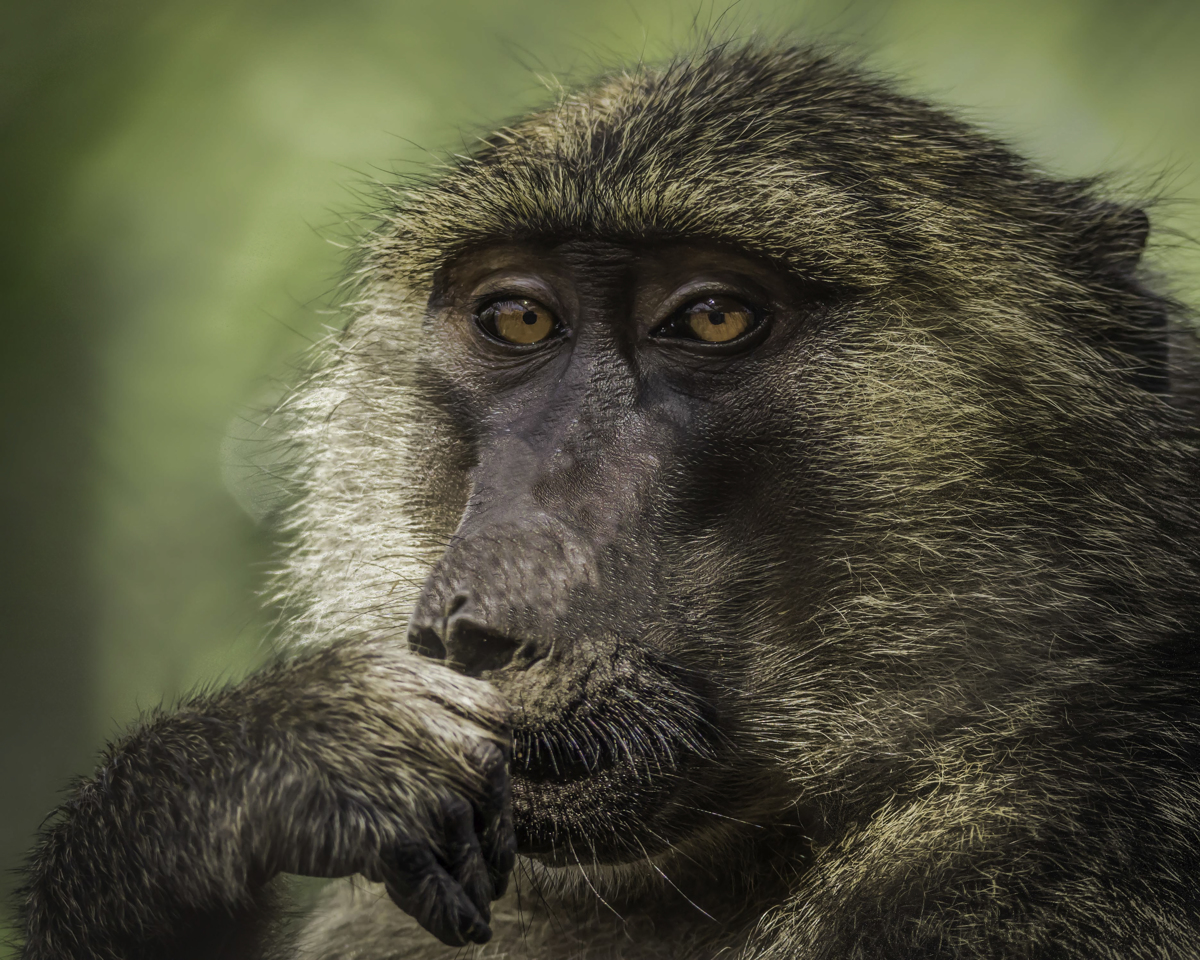 Pensive Baboon (large view)