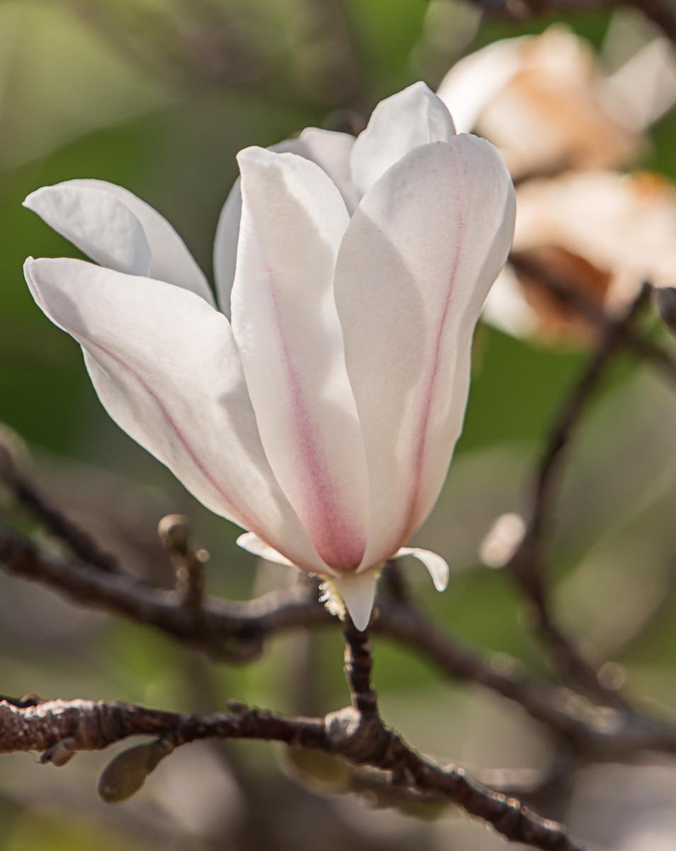 Spring Magnolia in Dallas (large view)