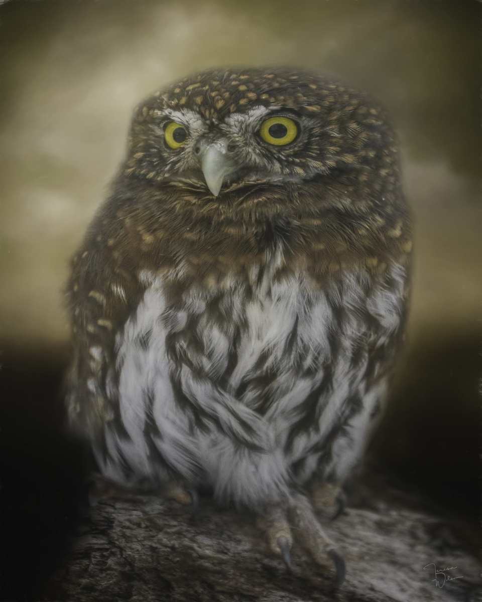 Northern Pygmy Owl (large view)
