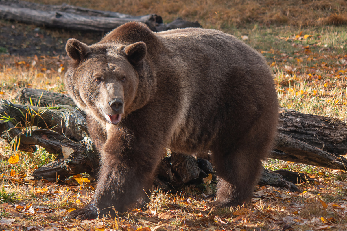 Grizzly in the Fall by TL Wilson Photography  (large view)