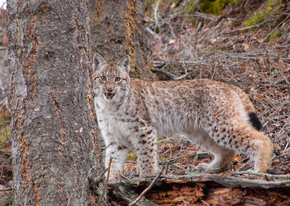 Siberian Lynx Kitten 2387 by TL Wilson Photography  (large view)