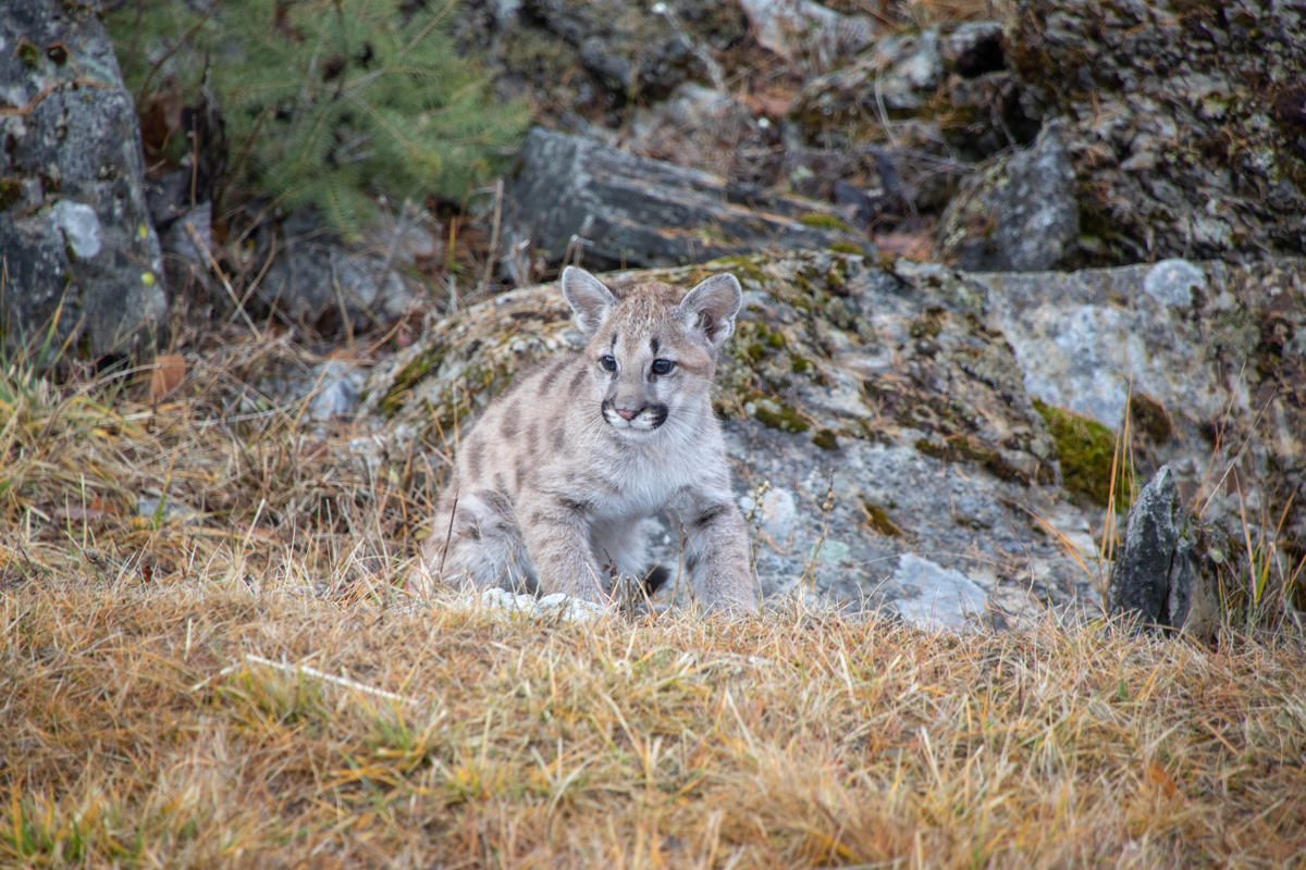 Mountain Lion Cub - 5641 by TL Wilson Photography  (large view)