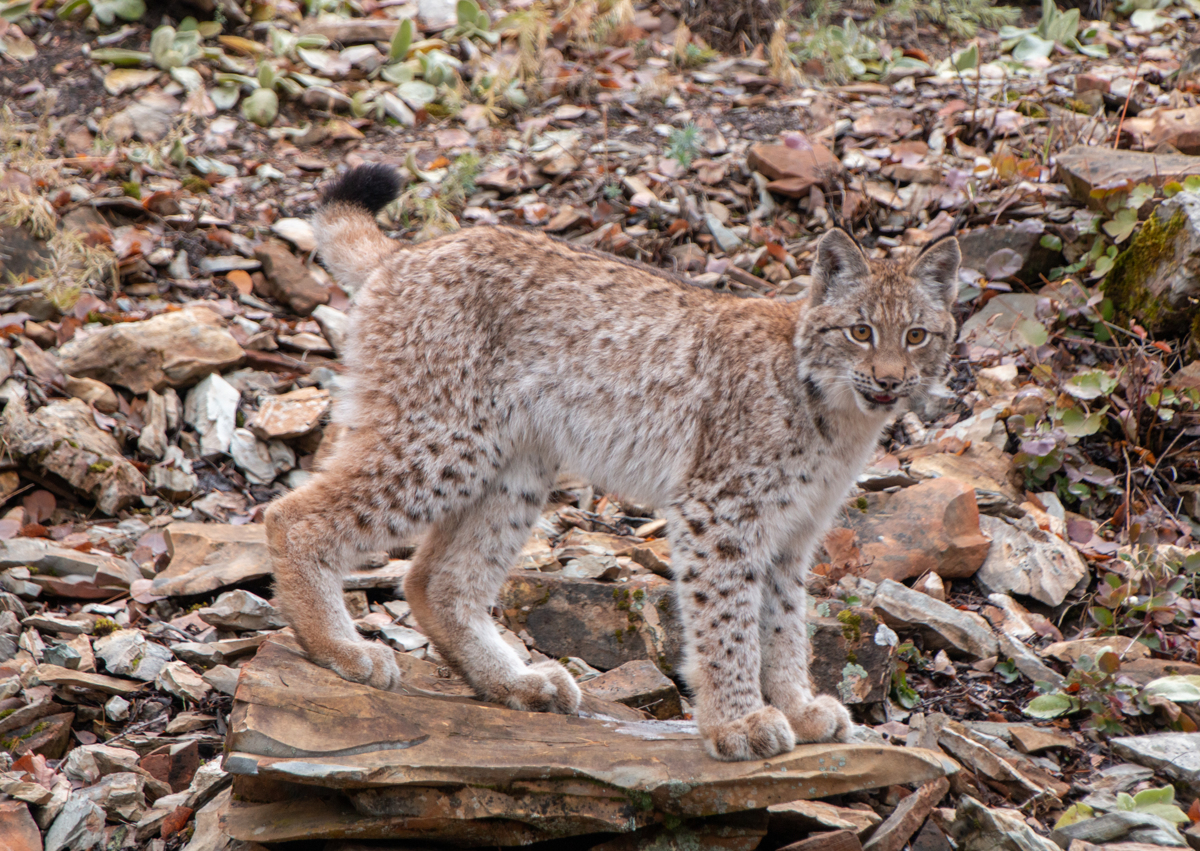 Siberian Lynx Kitten 2862 by TL Wilson Photography  (large view)