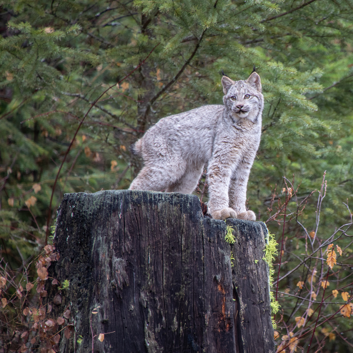 Canada Lynx Kitten on a Tree Stump by TL Wilson Photography (large view)