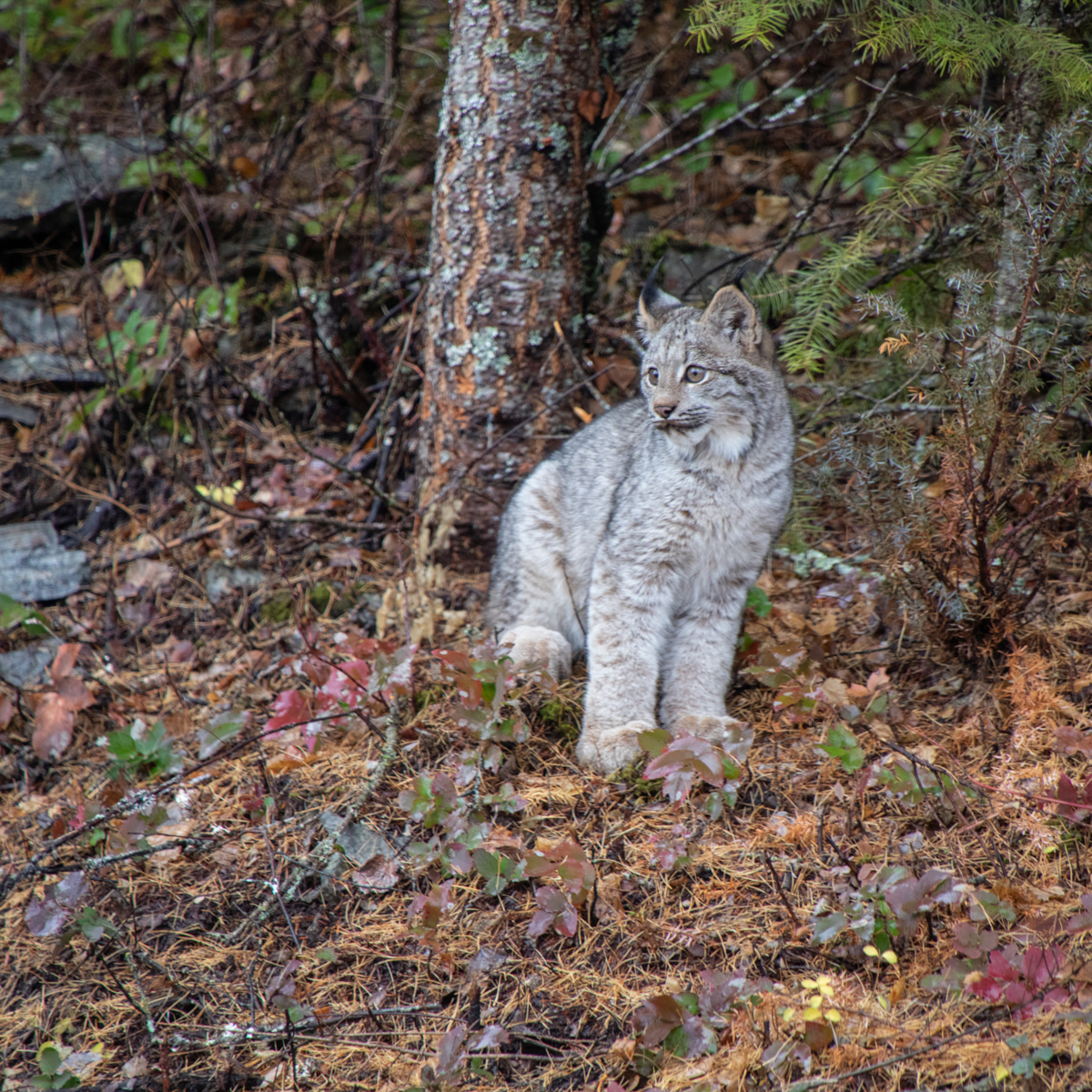 Canada Lynx Kitten 7335 by TL Wilson Photography (large view)
