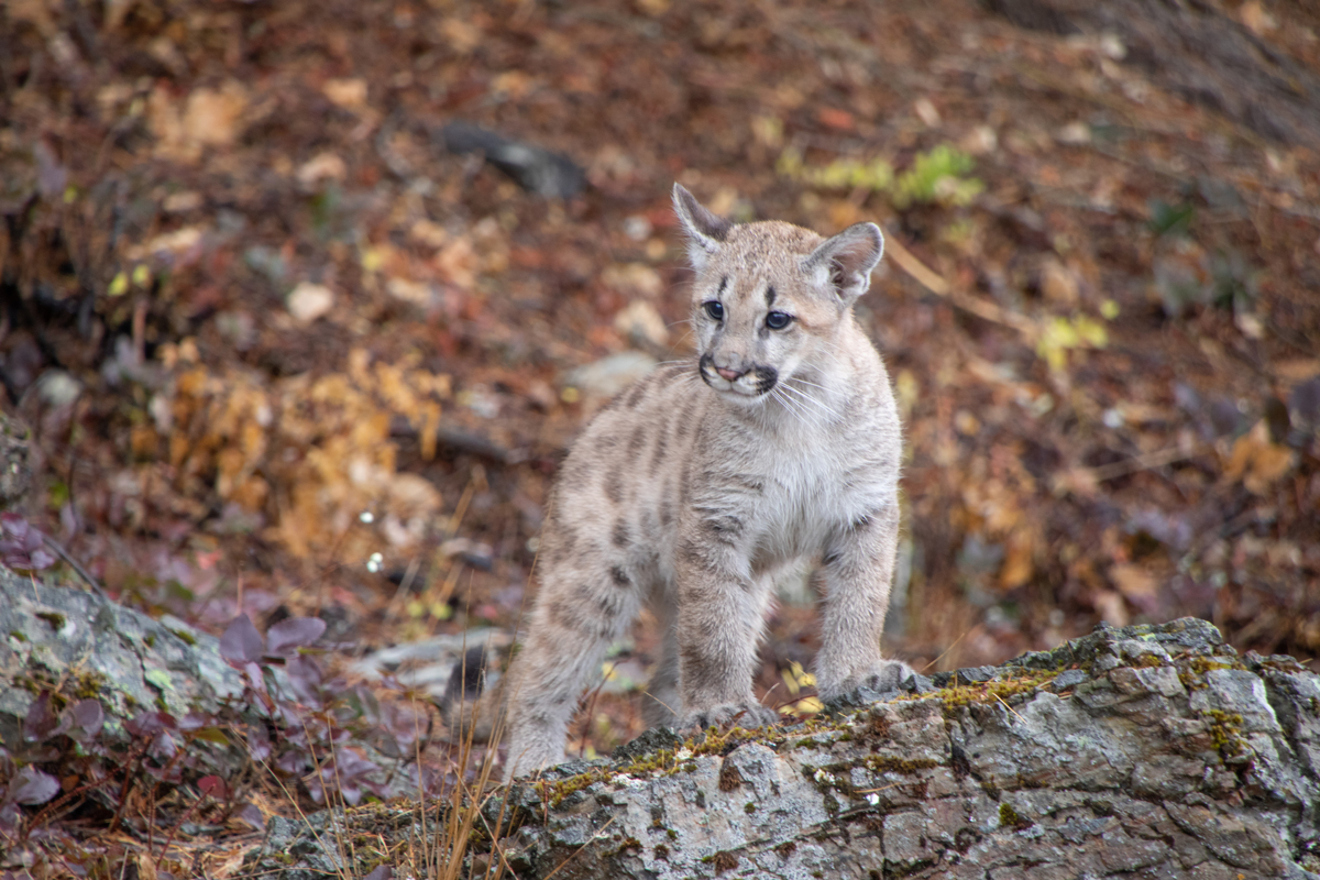 Mountain Lion Cub - 7038 by TL Wilson Photography  (large view)