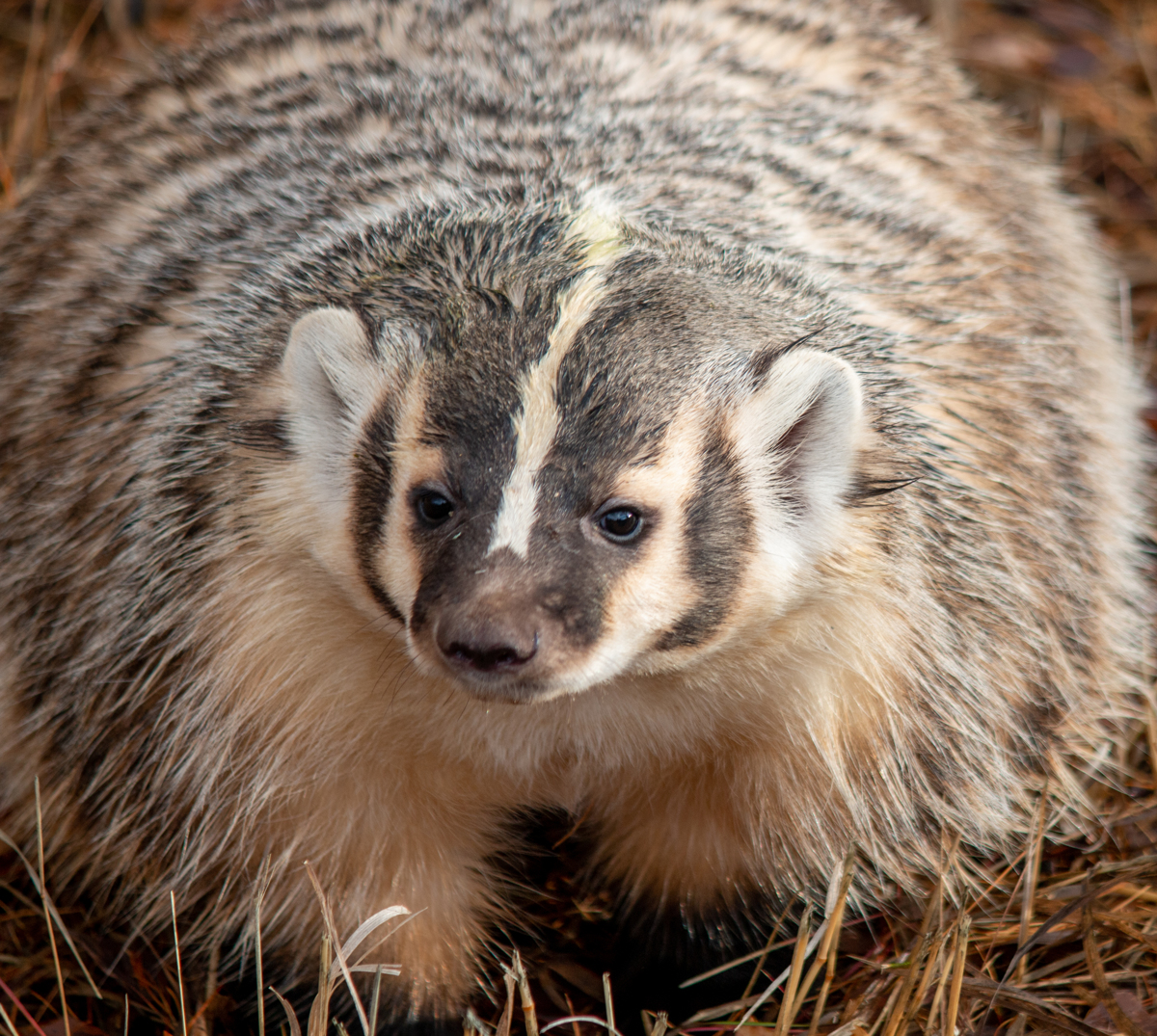 Badger 3344 by TL Wilson Photography  (large view)