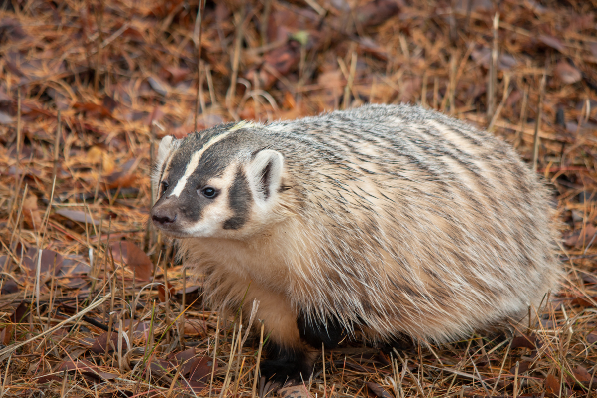 Badger 3341 by TL Wilson Photography (large view)