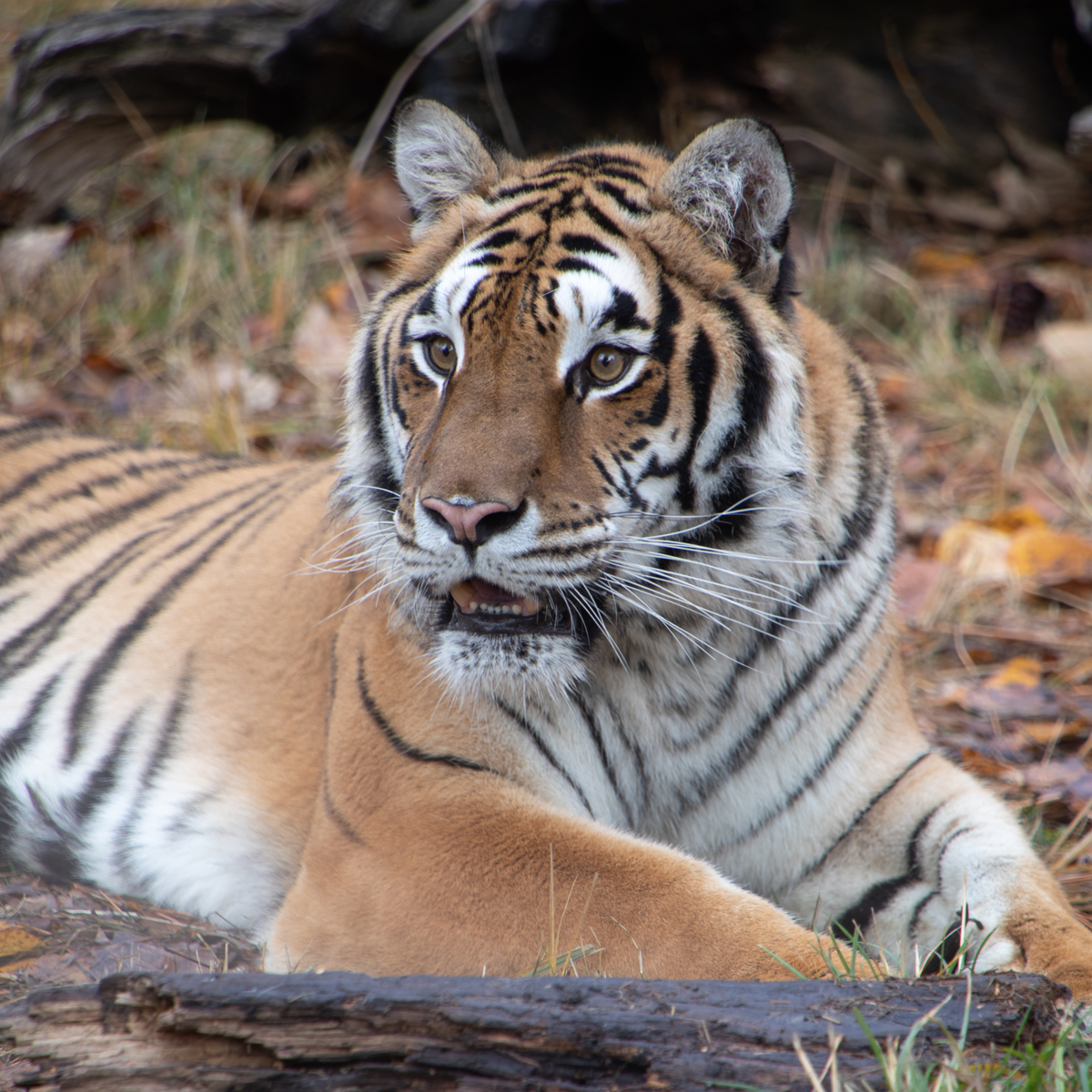 Siberian Tiger Portrait Square by TL Wilson Photography  (large view)