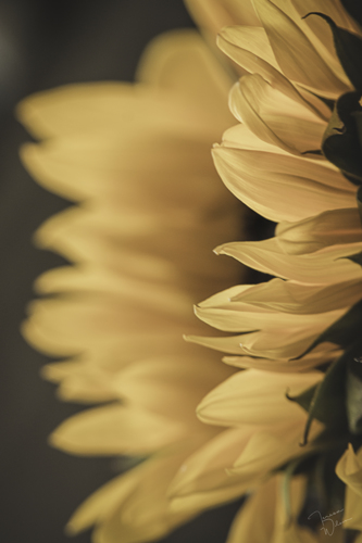 Sunflower from the Side