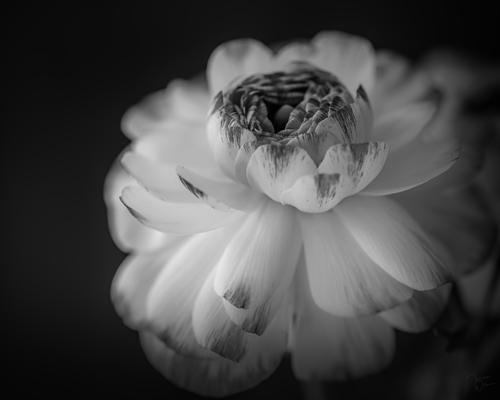 Radiance Blooms