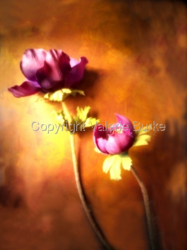 purple poppy by Valerie Burke