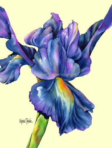 Meet the Iris